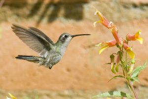 14 Mar 2006 --- Lucifer Hummingbird Mid-air --- Image by © Royalty-Free/Corbis - colibris de nîmes